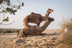 Rajasthan - Jaisalmer - Desert Safari with Camels-46
