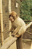 Young Barbary ape. Exotic gardens. Rabat (Mary Gillham Archive Project) Tags: 5753 barbaryape mammal morocco rabat