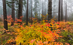 Colors Of The Season (John Westrock) Tags: autumn canonef1635mmf4lis canoneos5dmarkiii eastonstatepark fall fallcolors pacificnorthwest autumncolors fog foggy forest nature trees washingtonstate