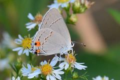 Gray Hairstreak (NaturalLight) Tags: grayhairstreak hairstreak butterfly aster chisholmcreekpark wichita kansas