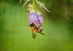 Bee .. (Julie Greg) Tags: macro grass flower bee park nature