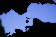 Little blue sky. (lfdo_19) Tags: blue sky nature contraluz backlighting méxico plant life vida cielo azul