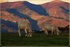 Plateau du Thanner Hubel - Haut Rhin (jamesreed68) Tags: thannerhubel alsace 68 thann hautrhin grandest bitschwiller nature paysage montagne mountain plateau forêt vache animal canon eos 600d pâturage france pré herbe