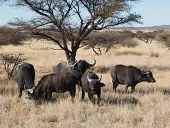 P9270141 Cape Buffalo (Joanna P Dale) Tags: marricksafari olympus omdem1 35mmmacro 35mmzuiko