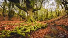 Hayedo de Otzarreta (Raul Piki Bolukua) Tags: ngc paisvasco euskalherria basquecountry paysbasque landscape tree autumm otoño udazkena forest arbol rio river nature nikond3200 sigma1020