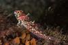Scalyhead Sculpin (Artedius harringtoni) (jonmcclintock) Tags: adventure diving travel britishcolumbia bc canada scuba underwater strongwater