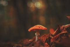 Ciao... (_andrea-) Tags: ovolaccio amanita muscaria mushroom fly agaric fliegenpilze lowpov love nature natura svizzera schweiz ticino sonyalpha7m2 sonya7m2 1450 planart1450 carlzeiss autunno autumn herbst bokehshots bokehs dof pov