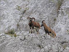 Ovis musimon / Muflone (Alvaro Colombo) Tags: national geographic wildlife ngc coth5 npc
