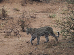 PA042413 adj Leopard (Joanna P Dale) Tags: kgalagaditransfrontierpark matamata olympus omdem1mkii panasonic100400 africanleopard leopard