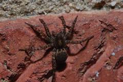 Arachtober 24 (Procrustes2007) Tags: spider arachnid arachtober pardosasp wolfspider macro nikond50 nikkor50mmais tamron2xteleconverter vivitarextensionrings68mmtotal flash greatcornard suffolk uk britain england