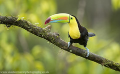 Keel-Billed Toucan (Alastair Marsh Photography) Tags: keelbilledtoucan keelbilledtoucans toucan toucans bird birds beak tropical jungle costarica centralamerica latinamerica rainforest rain rainfall feathers forest feather caribbean animal animals animalsintheirlandscape wildlife