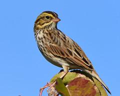 DSC_6148=2SavannahSparrow- (Explored) (laurie.mccarty) Tags: sparrow avian animal bird sky macro wildlife nature birding
