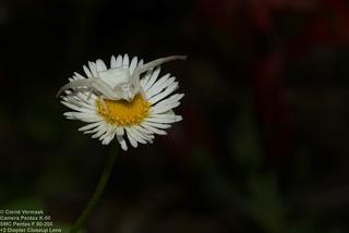2017-10-24 Flower Crab Spider (Thomisus daradioides) 7100