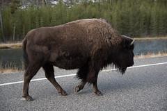 Big guy (John Nefastis) Tags: bison buffalo american yellowstone national park nationalpark wyoming montana madison river brown road horns wildlife autumn usa nikon tamron