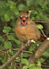 OMG (hennessy.barb) Tags: omg surprise cardinaliscardinalis cardinal northerncardinal agape