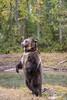 DSC_8509 (Kelly Walkotten) Tags: grizzlybear montana tripled
