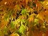Beautiful acers (vietnamvera) Tags: westonbirtarboretum autumncolour autumn autumnleaves trees acers acerleaves