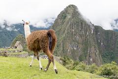Machu Picchu (takashi_matsumura) Tags: machu picchu aguas calientes urubamba cusco peru ngc nikon d5300 llama afs dx nikkor 35mm f18g fauna