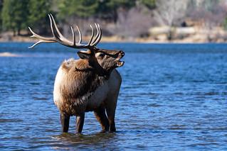 Bull Elk - Water