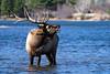 Bull Elk - Water (BernieErnieJr) Tags: rockymountainnationalpark bullelk elk colorado coloradowildlife wildlife sonya9 estespark sonyfe100400mm bernie duhamel frontrange greatphotographers teamsony rockymountains water lake reflection wind windy