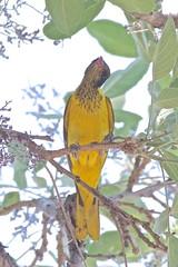 BVR_3924 (Bird Brian) Tags: blackheadedoriole