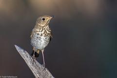 BJ8A9160-Hermit Thrush (tfells) Tags: hermitthrush bird nature newmexico santafe wildlife passerine songbird