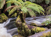 the tasmanian wilderness in Mt. Field National park (back from tripping around.) Tags: tassie wilderness temperaterainforest treeferns waterfalls rushingrivers
