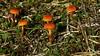 Hygrocybe sp. (Vaakkoi recreation area, Vihti, 20170923) (RainoL) Tags: crainolampinen 2017 201709 20170923 autumn finland fungi fz200 geo:lat=6034383068 geo:lon=2460994363 geotagged mushroom nyland saarenmusta september uusimaa vaakkoi vaakkoirecreationarea vaakkoinulkoilualue vichtis vihti fin hygrocybe