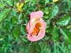 Rose and morning dew (iluveasycheese) Tags: flower morningdew rose