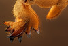 The shovel (andre de kesel) Tags: gryllotalpa molecricket veenmol orthoptera gryllotalpidae digging sonya7rm2 canonmpe65mm metabonescanoneftosonyesmartadaptermarkiv focusstacking zerenestacker cognisysstackshot macro insect