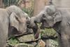 Asiatic elephants BlijdorpZoo (K.Verhulst) Tags: olifanten olifant elephant elephants aziatischeolifanten asiaticelephants blijdorp blijdorpzoo diergaardeblijdorp rotterdam