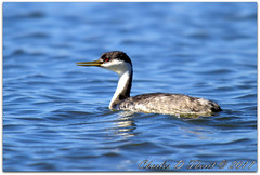Western Grebe / Aechmophorus occidentalis (ctofcsco) Tags: 11250 20x 2x 7d 7dclassic 7dmark1 7dmarki 800mm canon colorado didnotfire digital ef2x ef2xii ef400mmf28liiusm20x eos eos7d esplora explore explored extender f63 flashoff iso125 photo pic pretty renown shutterspeedpriorityae spot supertelephoto teleconverter telephoto unitedstates usa 2017 birds co geo:lat=3757331950 geo:lon=10609186510 geotagged homelake lake montevista nature northamerica photograph picture water wildlife