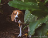Escondido (Lex Arias / LeoAr Photography) Tags: 2017 animales animals art arte artistic barquisimeto beagle dog iglexariasphotos leoarphotography lexarias mascota nikon nikond3100 perro pet venezuela vintage