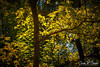 ARBOREAL GLOW (CharlesSmithPhotography) Tags: 500px trees leaves forest color nature contrast tree glow foliage leaf natural green peaceful texas deep solitude tranquil tranquility lush ethereal belton miller springs