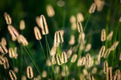Sunlight Through the Weeds at Dusk (esphero) Tags: green gold plant weeds florida everglades sunset