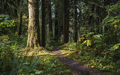 Real and Imagined (John Westrock) Tags: forest trees path nature light washington pacificnorthwest canoneos5dmarkiii canonef2470mmf28lusm mountainloophighway