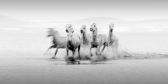 Camargue Horses (blurred 1) (pixellesley) Tags: camargue france horses animals racing water surf action movement blur spray mono blackwhite fast furious exhilerating quiet stately magnificent icm icmmultiple panning