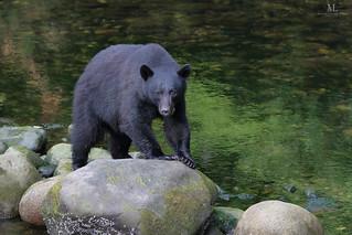 Black bear - Ours noir - Ursus americanus