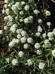 Alyssum (Melinda Stuart) Tags: flower alyssum white ground summer