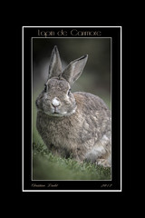 Les p'tits lapins II (passion photos animalières) Tags: lapin rabbit canmore alberta faune 2017 passionphotosanimalières vacances rocheuses