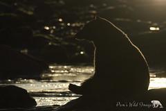 Waiting (PamsWildImages) Tags: black bear nature wildlife backlit vancouverisland canada bc pamswildlimages pammullins sunrise