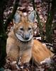 DSC_6730 (Bianca Wolfsteiner) Tags: 20151216 tiergartennürnberg mähnenwolf