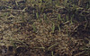Potamogeton sp. Broad pondweed, Imouzzer (Mary Gillham Archive Project) Tags: 57320 imouzzer morocco planttree potamogeton