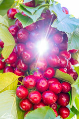 Pie cherries with sunbeam (Washington State Department of Agriculture) Tags: cherry wsdagov washingtonstatedepartmentofagriculture cherries orchard quincy tree washington washingtonstate wsda