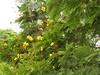 Peltophorum pterocarpum (reuben.lim) Tags: peltophorum pterocarpum peltophorumpterocarpum fabaceae jemerlanglaut yellowflame yellowflamboyant jamerelang balai batai batailaut yellowpoinciana copperpod rustyshieldbearer rustyshieldtree