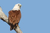 Brahminy Kite (petefeats) Tags: accipitriformes accipitridae australia birds brahminykite brisbane haliasturindus nature queensland wellingtonpoint