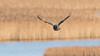 Multitasking (m2onen) Tags: crow hoodedcrow corvuscornix bird birding birdinflight bif inflight sony a6300 sal70400g laea3