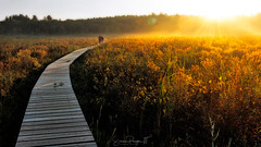 Walking on Sunshine (Simmie | Reagor - Simmulated.com) Tags: 2017 connecticut connecticutphotographer fall fallcolor fog landscape landscapephotography litchfield litchfieldcounty littlepondboardwalktrail marsh mist morning nature naturephotography newengland outdoors saltmarsh september sunrise unitedstates wetland ctvisit digital https500pxcomsreagor httpswwwinstagramcomsimmulated whitememorialconservationpreserve wwwsimmulatedcom us
