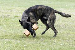 TB0A4798 (templeinmn) Tags: 2017 fall ipo mvsv schutzhund trial