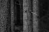 No trespassing (Stefano Rugolo) Tags: stefanorugolo pentax k5 smcpentaxm50mmf17 monochrome trees forest wood notrespassing branches depthoffield depth dark hälsingland sweden sverige landscape texture pattern focus